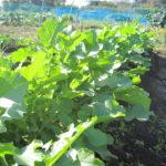【農業】大根・カリフラワー・ブロッコリーの収穫